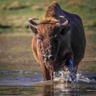 judo valbonne bison